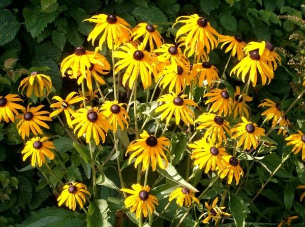 Sonnenhut – Rudbeckia fulgida ´Little Goldstar`